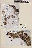 Luma apiculata image