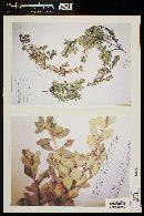 Myrceugenia colchaguensis image