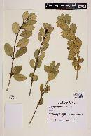 Myrceugenia correifolia image
