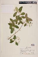 Myrceugenia exsucca image
