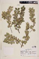 Myrceugenia obtusa image