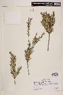 Image of Myrceugenia pinifolia