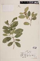 Myrceugenia planipes image