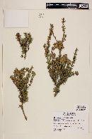 Myrceugenia rufa image