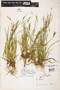 Carex arizonica image