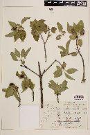 Hintonia latiflora image