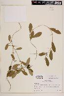 Passiflora suberosa image