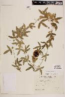 Passiflora caerulea image
