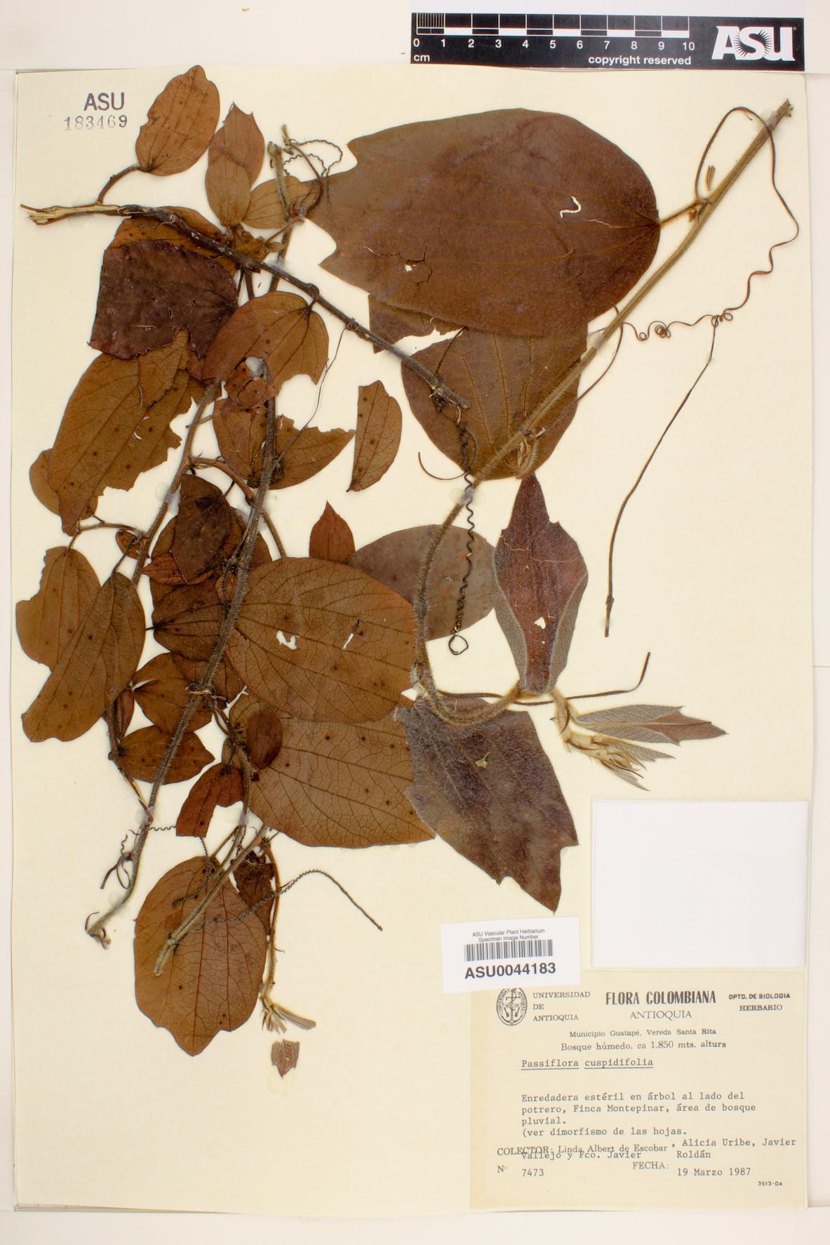 Passiflora cuspidifolia image