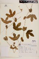 Passiflora kermesina image