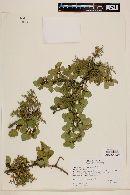 Misodendrum linearifolium image