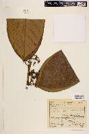 Image of Neea macrophylla