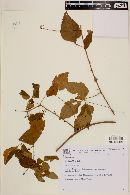 Image of Urvillea filipes