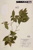 Psychotria patens image