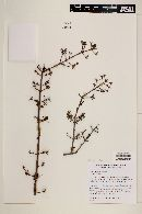 Randia sonorensis image