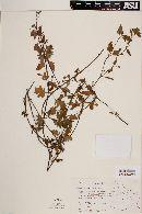 Calceolaria mexicana image