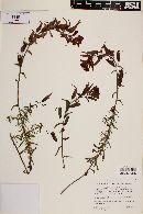 Castilleja integrifolia image