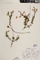 Image of Hemichaena spinulosa