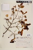 Callisthene fasciculata image