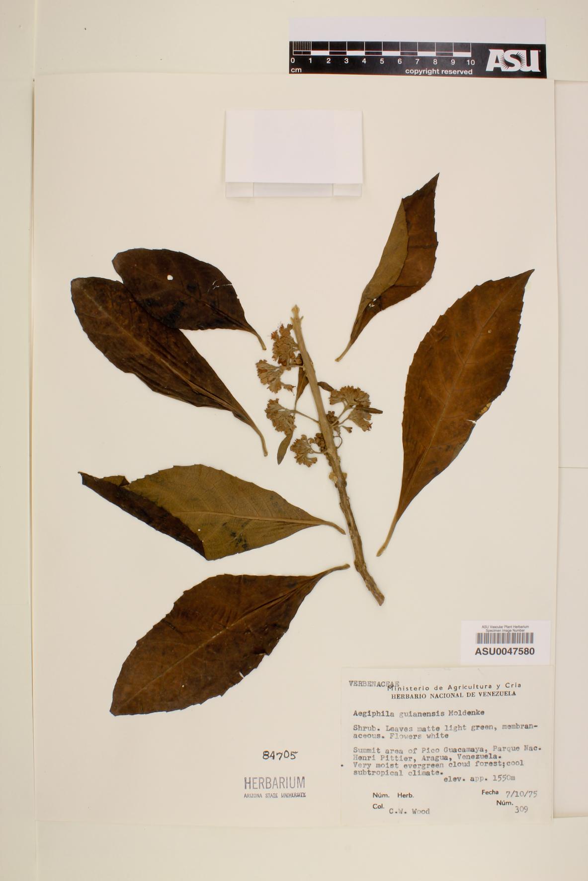 Aegiphila guianensis image