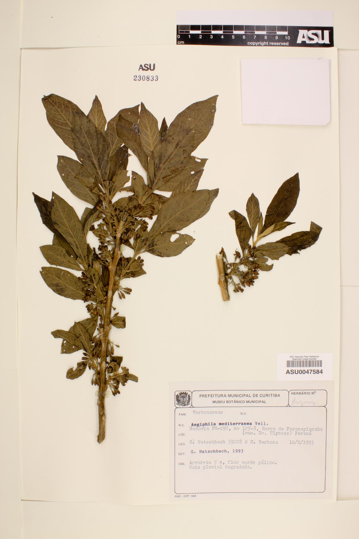 Aegiphila mediterranea image