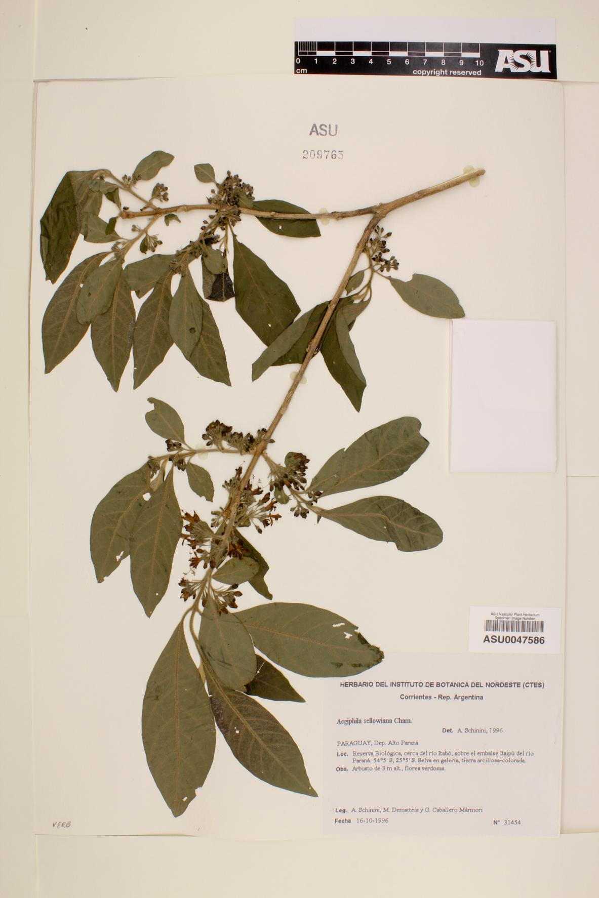 Aegiphila sellowiana image