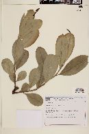 Image of Sapium obovatum