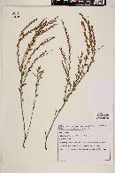 Image of Microstachys ditassoides