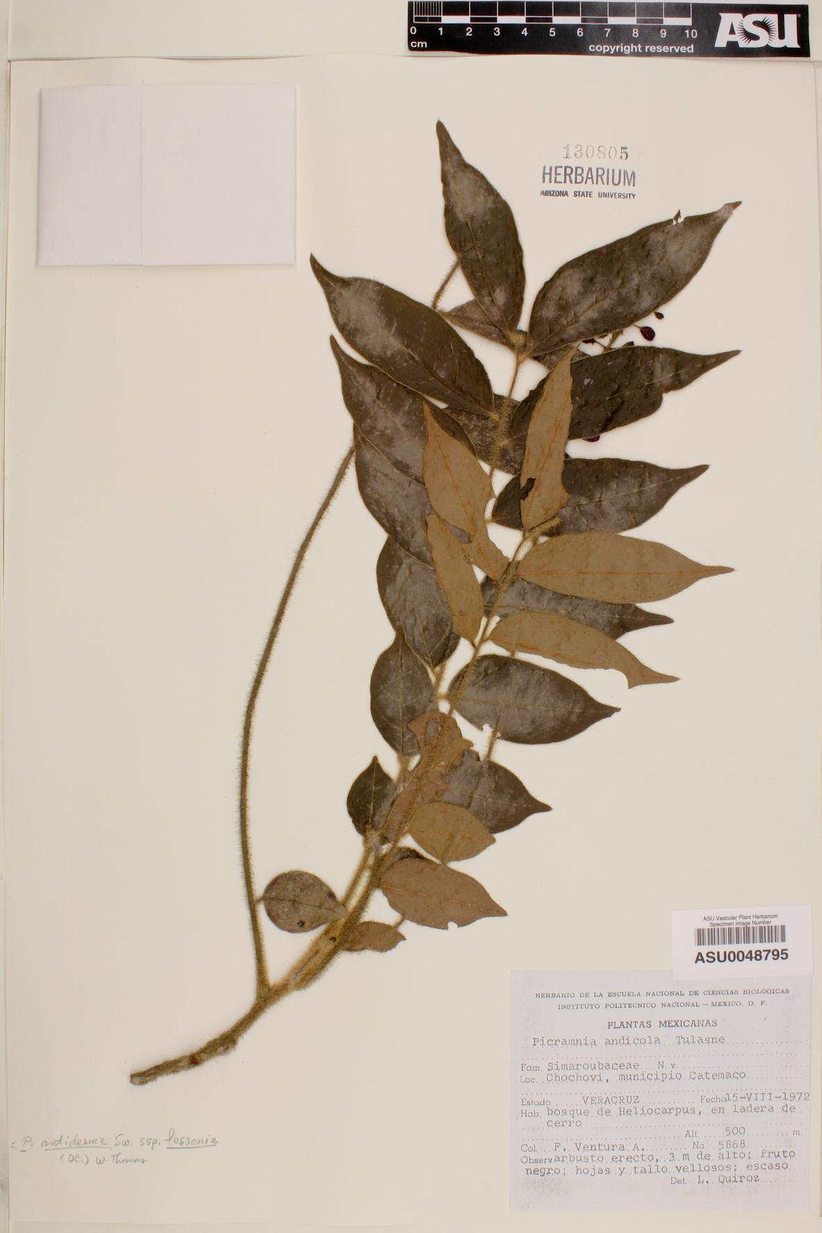 Picramnia antidesma subsp. fessonia image