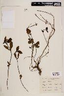 Lippia turnerifolia image