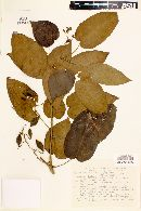 Solanum sciadostylis image