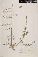 Image of Lycium americanum