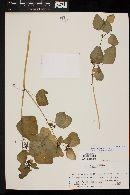 Image of Colignonia glomerata