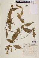 Image of Byttneria australis