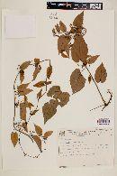 Image of Byttneria benensis