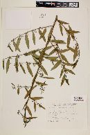 Image of Byttneria filipes