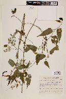 Image of Byttneria gracilipes