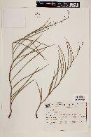 Image of Byttneria jaculifolia