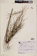Image of Byttneria stenophylla