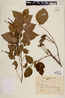 Image of Helicteres corylifolia