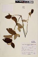 Image of Helicteres eichleri