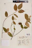 Image of Helicteres macropetala