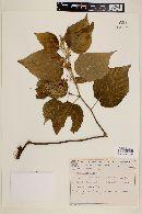 Image of Helicteres ovata