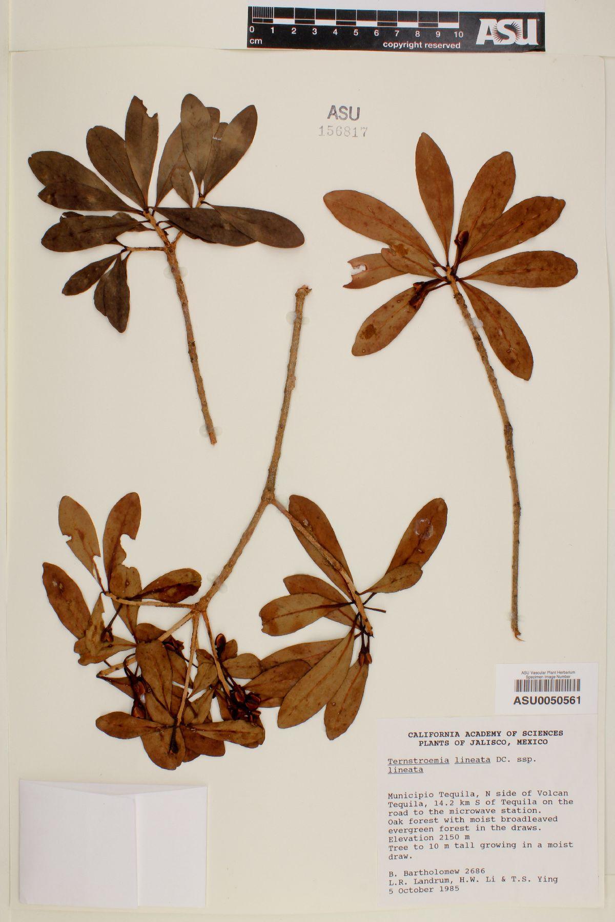 Ternstroemia lineata subsp. lineata image
