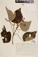 Image of Heliocarpus appendiculatus