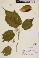 Image of Heliocarpus terebinthinaceus