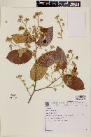 Image of Luehea paniculata