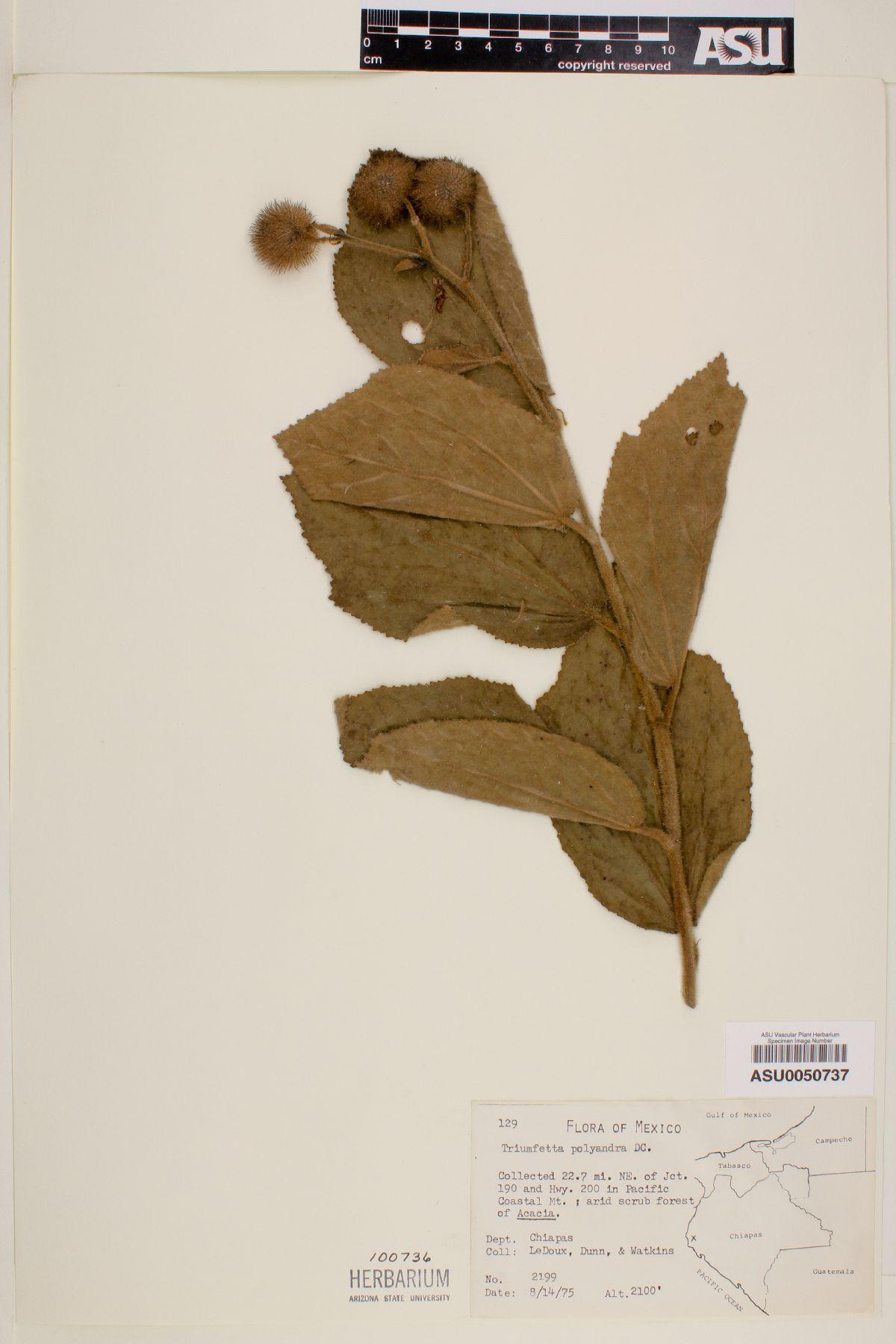 Triumfetta polyandra image