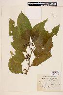 Lycianthes synanthera image
