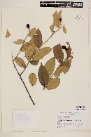 Image of Solanum crotonoides